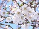 桜 2007年3月30日